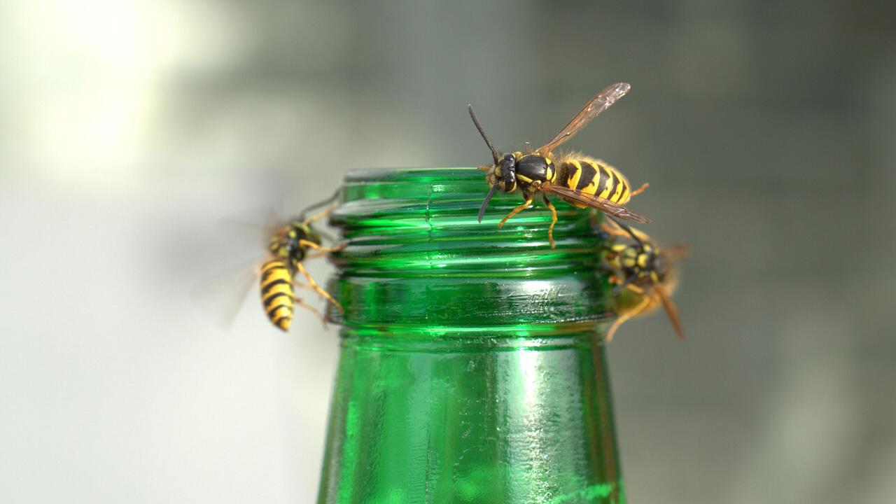 Wespen fliegen auf Süßes